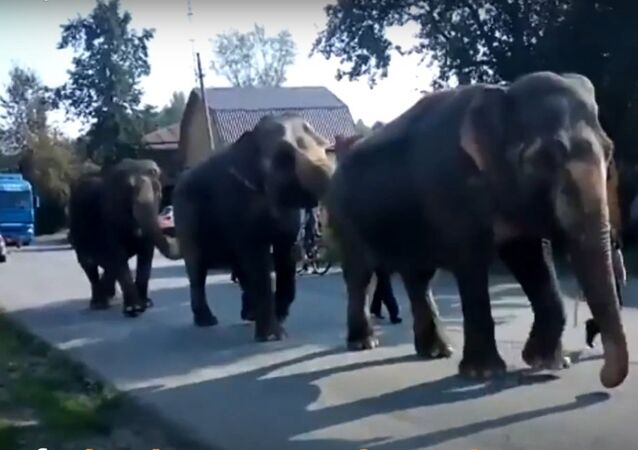 Livro da Selva: elefantes nas ruas da Rússia