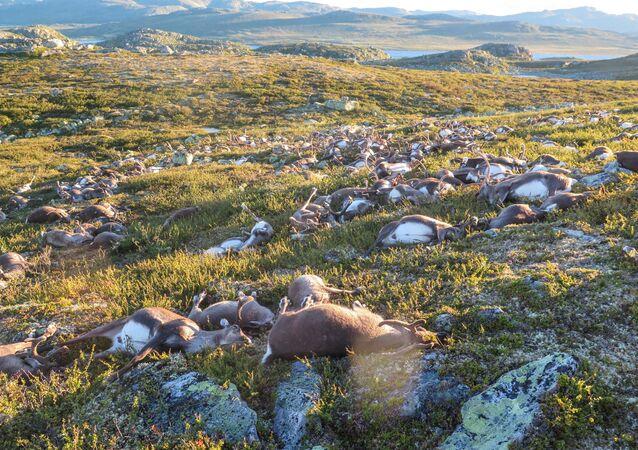 Na Noruega 323 renas morreram simultaneamente em circunstâncias estranhas