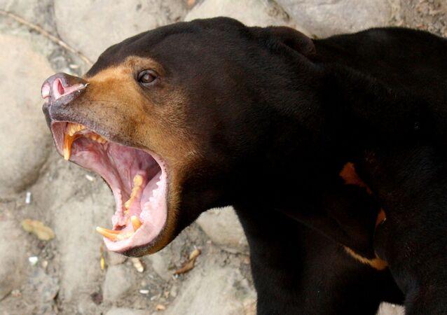 Urso malaio
