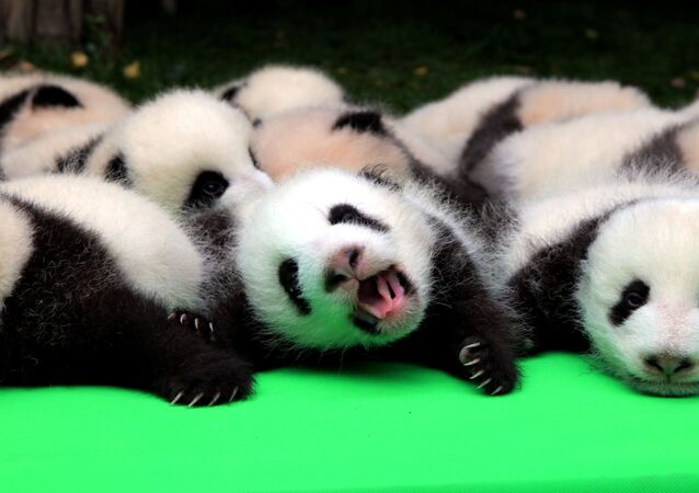 Cerca de 23 pandas nascidos em 2016 são mostrados na Base de Pesquisa e Criação de Pandas Gigantes de Chengdu, China. 29 de setembro de 2016