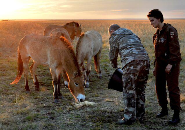 Putin alimenta cavalos selvagens