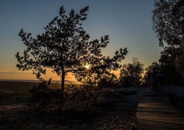 Um pinheiro no parque nacional Restinga de Kursi na região de Kaliningrado, na Rússia