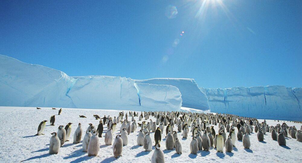 Pinguins-de-adélia