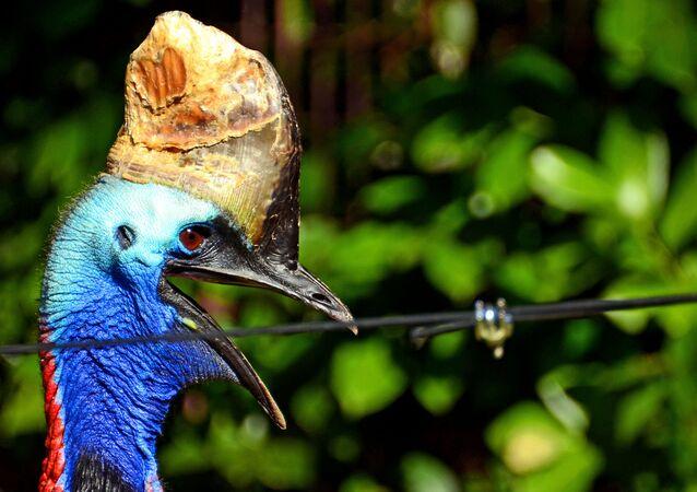 Casuar, considerada a ave mais perigosa do mundo