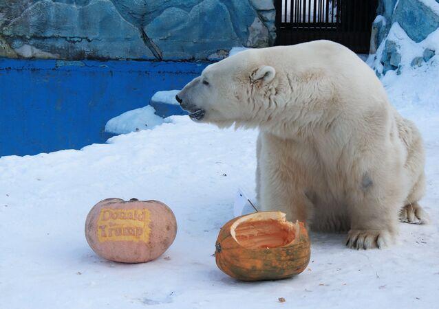 Urso polar que previu a vitória de Trump vira novo 'profeta' e recebe bolo