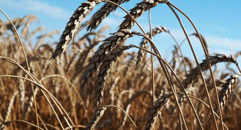 Colheita de trigo, Rússia