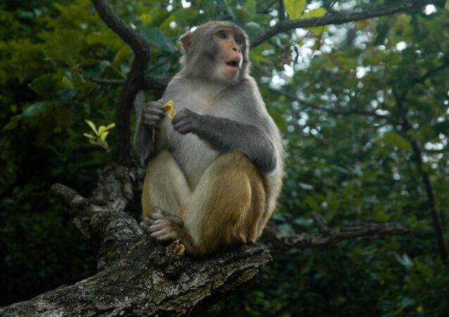 Macaco chinês