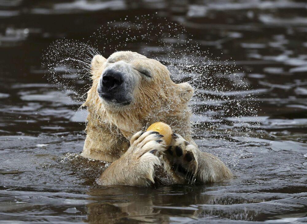 Urso branco Walker toma banho em pequeno lago no parque do jardim zoológico na Escócia