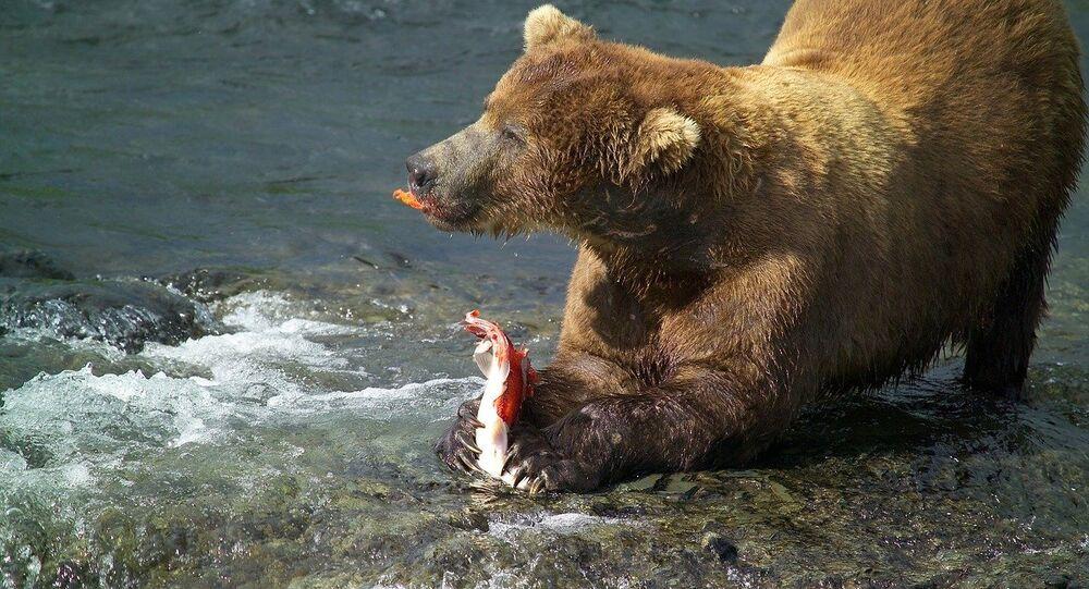 Urso com salmão