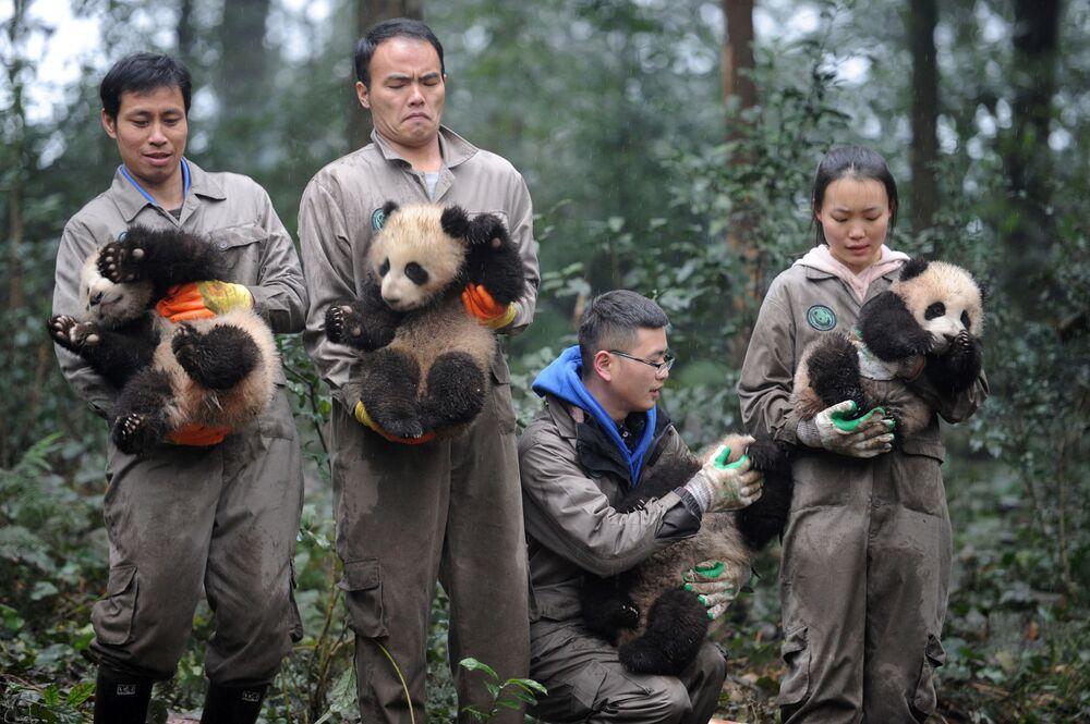 Funcionários do centro da pesquisa e proteção de pandas chinês com pequenos pandas