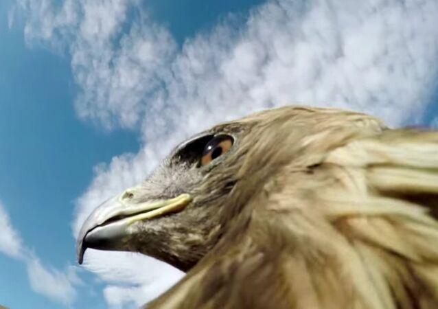 Águia, câmera, ação: ave carnívora caça raposa junto com você
