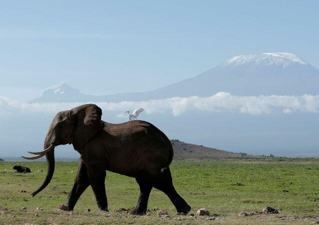 Elefante passeia no Parque Nacional queniano Amboseli, com a monte Kilimanjaro em fundo