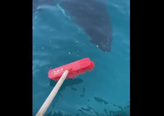 Pescadores australianos contra tubarão