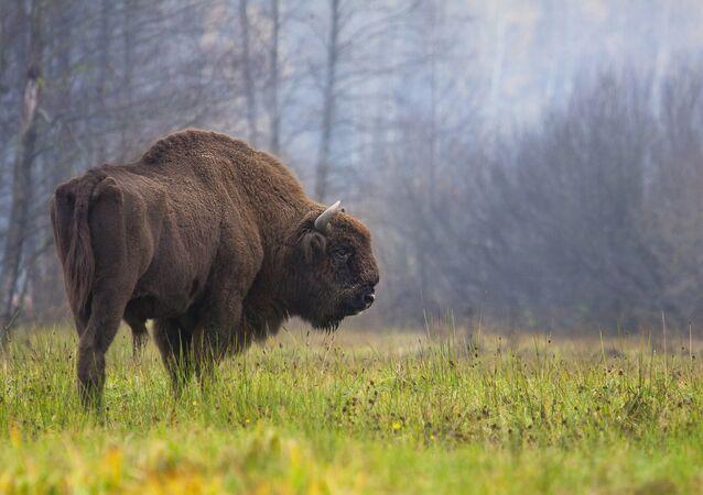 Bisão na floresta de Bialowieza, leste da Polônia (arquivo)