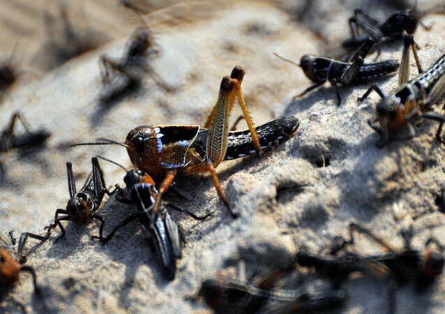 Grupo de gafanhotos-do-deserto (imagem referencial)