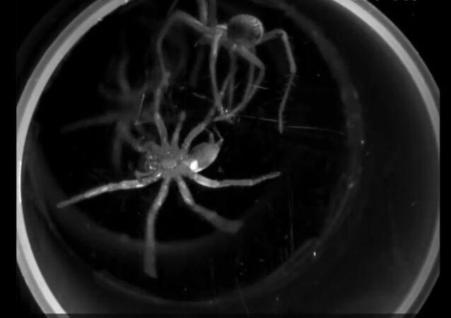 'Dança mortal' de duas aranhas canibais foi filmada em câmera lenta