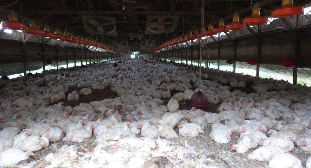 Aves contaminadas por vírus do tipo H5 em uma granja do Japão