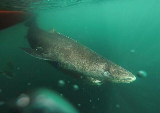 Tubarão-da-Groenlândia