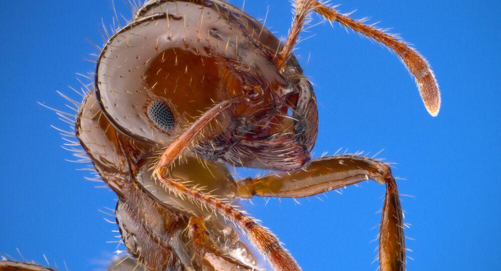 Uma formiga-de-fogo