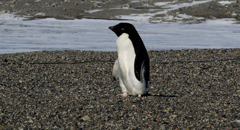 Um pinguim-de-adélia chega à estação de pesquisa de New Harbor perto da Estação McMurdo na Antártica em 11 de novembro de 2016