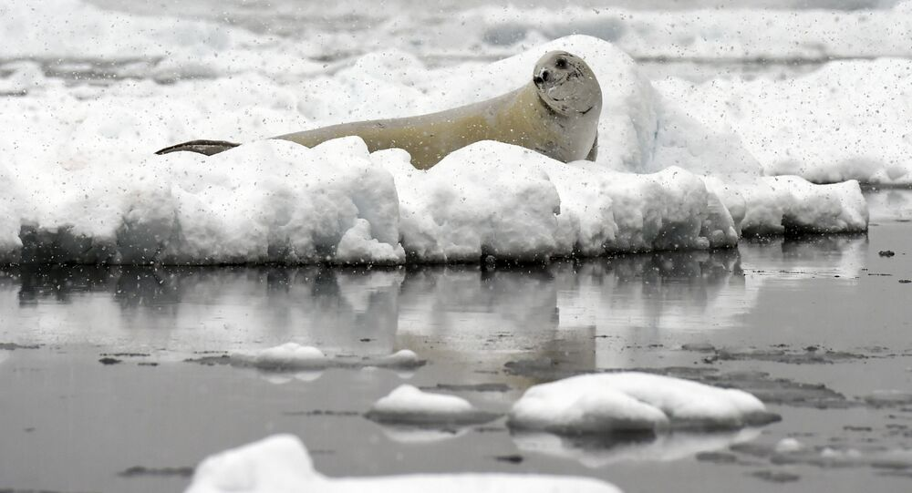 Foca-de-weddell, a responsável pelos estranhos ruídos nas profundezas da Antártica