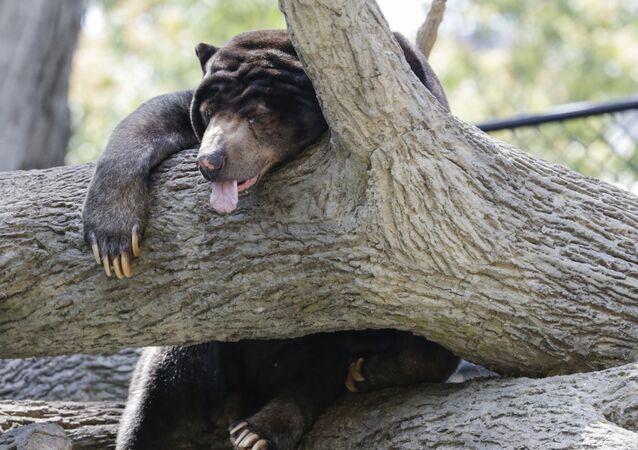 Urso malaio dorme no Jardim Zoológico de Omaha, EUA