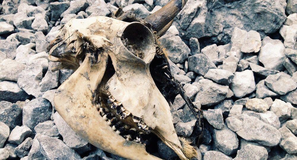 Crânio de um animal (imagem referencial)
