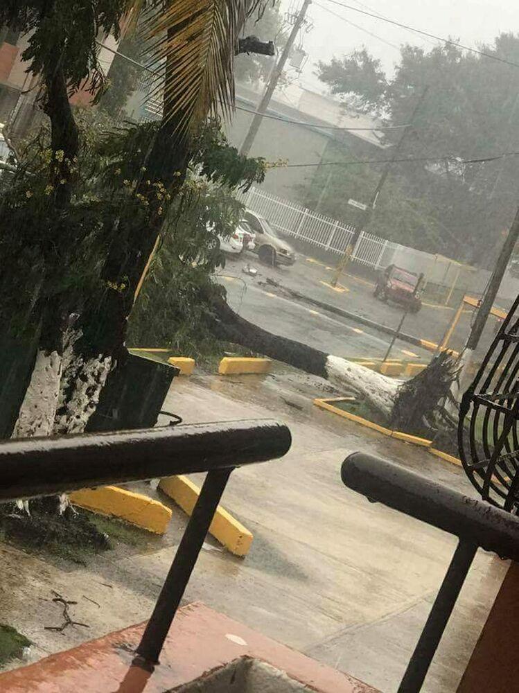 Uma árvore caída depois dos ventos de 297 km/h do furacão Irma, Porto Rico