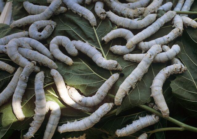 Bichos da seda