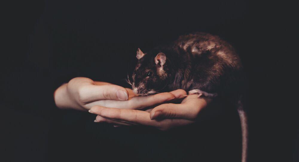 Rato (imagem referencial)