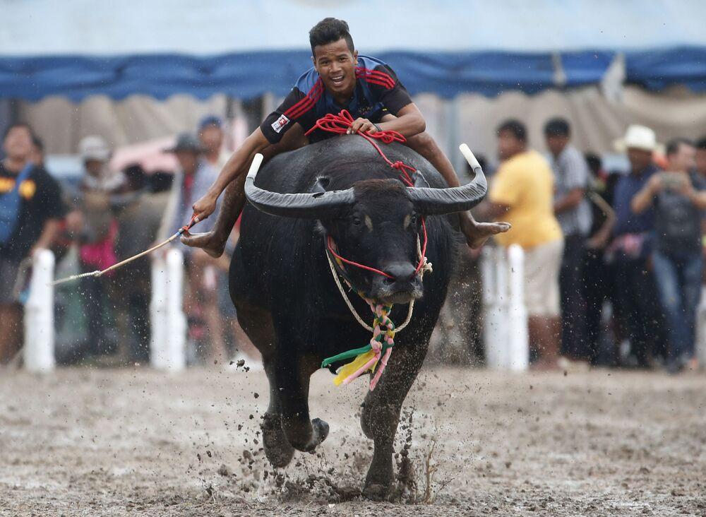 Corrida anual de búfalos na Tailândia