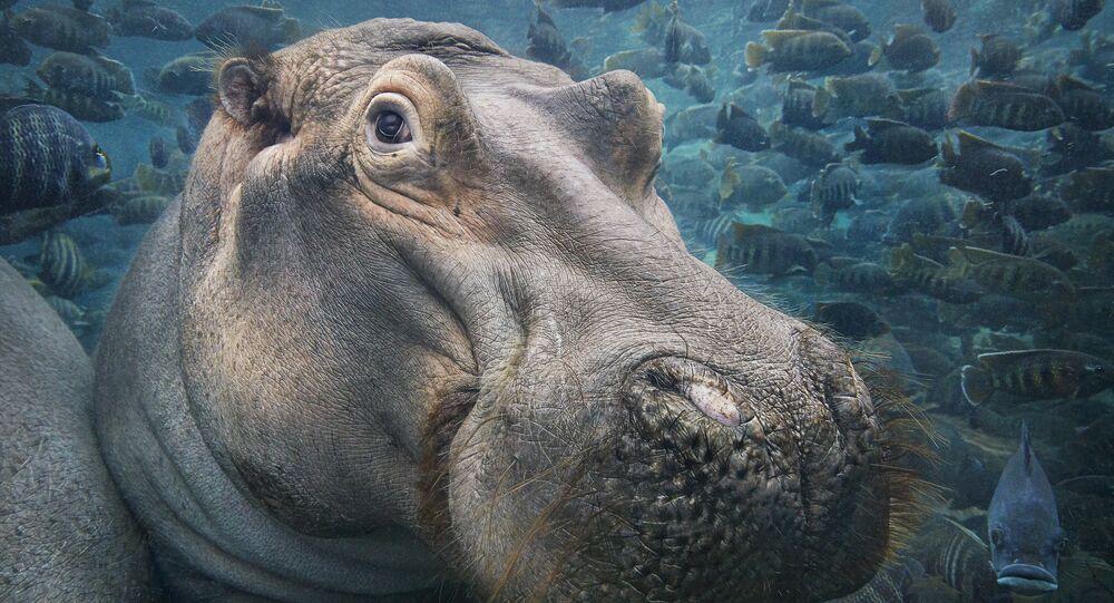 Hipopótamo em água