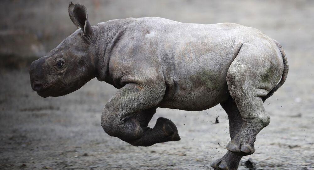 Rinoceronte negro recém-nascido no Jardim Zoológico de Dvur Kralove, República Tcheca