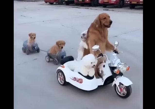 Cachorro motorista leva colegas para passear