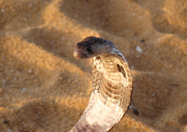 Uma cobra, imagem referencial