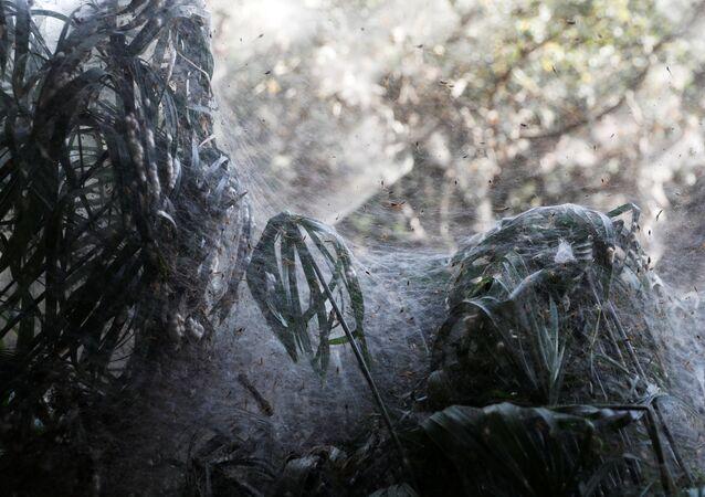 Invasão de aranhas em uma floresta israelense