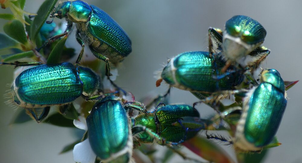 Escaravelho esmeralda