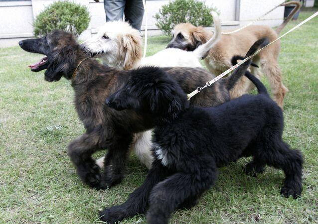 Clones do primeiro cachorro clonado Snuppy em Seul, Coreia do Sul, 2008