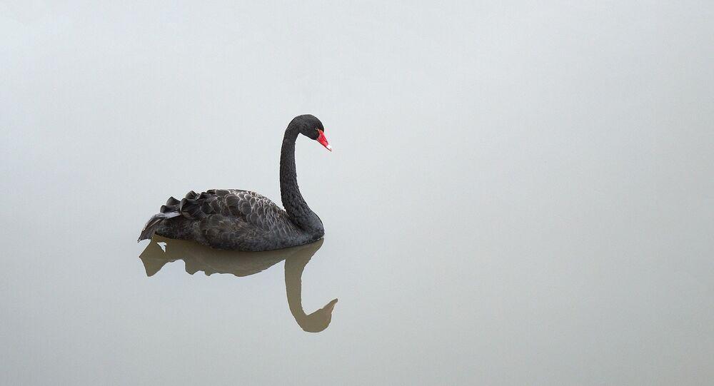 Cisne negro (imagem ilustrativa)